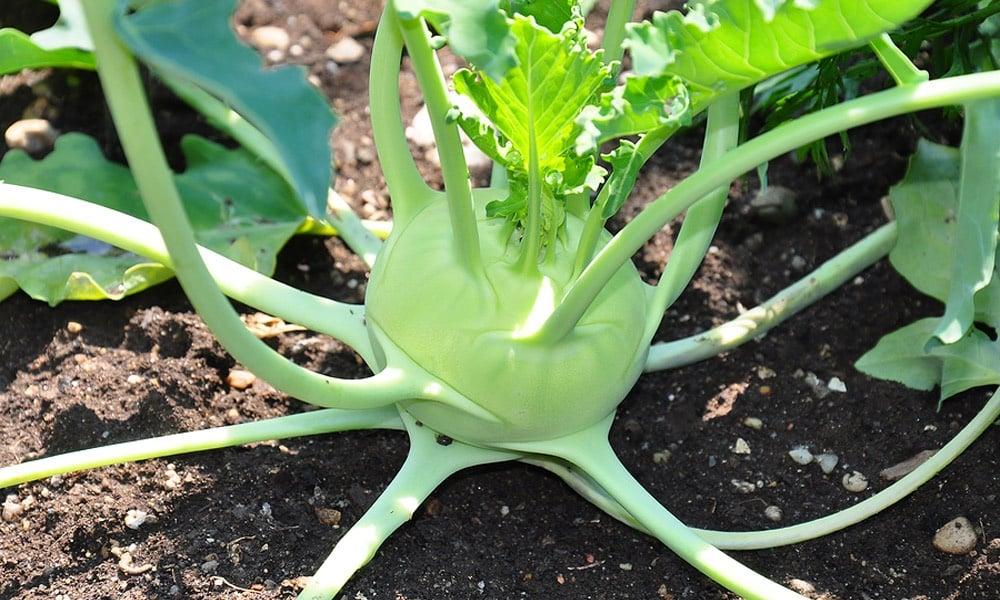 Şeker hastası olmamak için bu yiyeceği harcayın! Mevsimin yararlı sebzeleri…