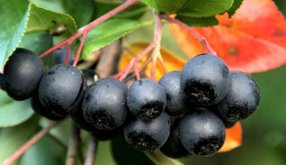 Bedendeki cerahati söküp atıyor! Şifa ambarı meyve aronyanın yararları…